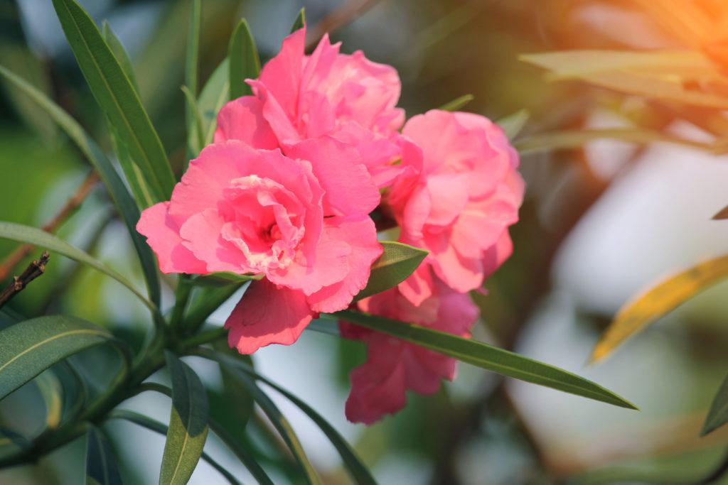 Gefüllte Oleanderblüten in Pink