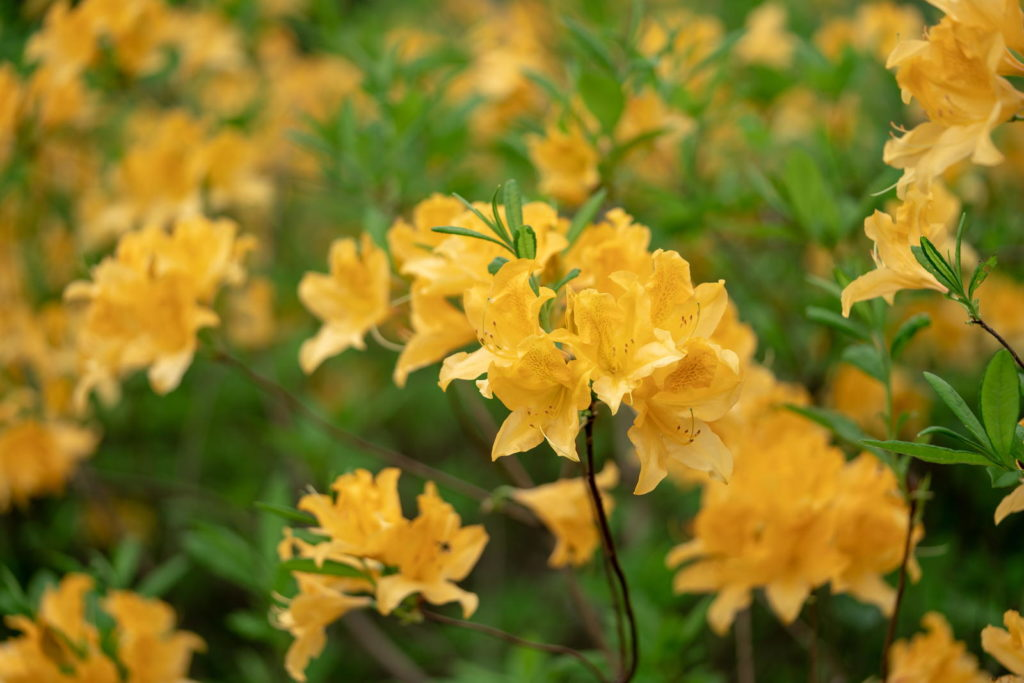 Gelber Rhododendron in Nahaufnahme