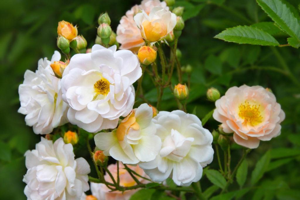 Weiß-gelbe Rosen
