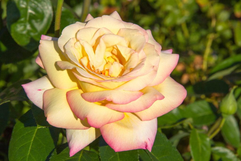 Gelbliche Rose