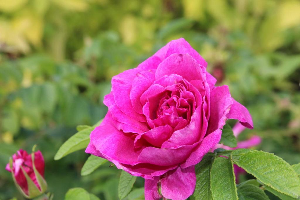Pflegeleichte Rosensorte