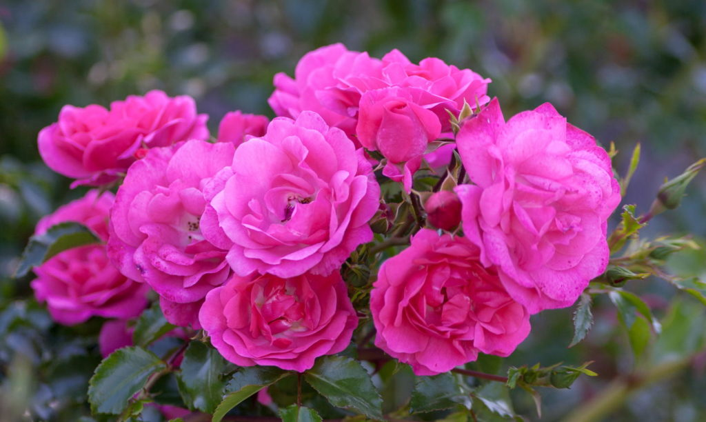 Lila-rosa Rosen