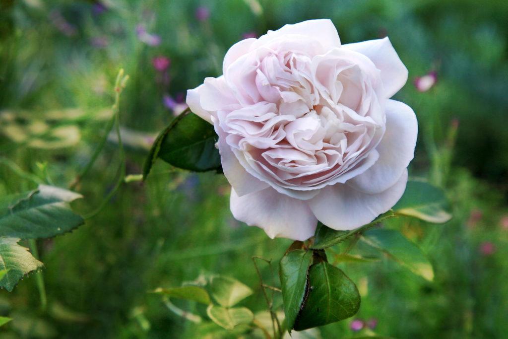 Hercules Rose im Garten