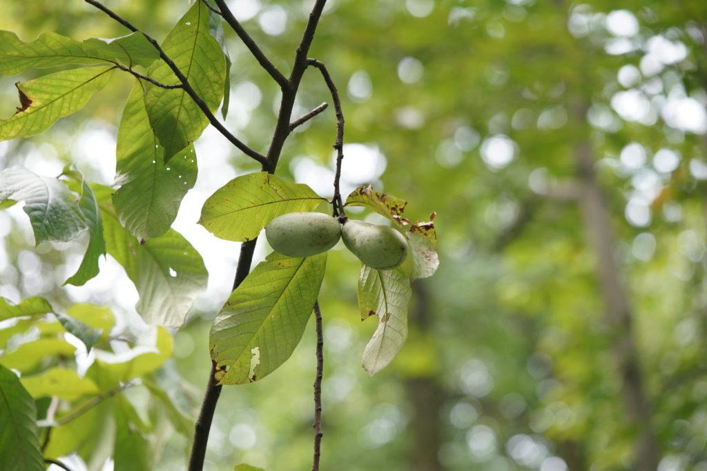 Grüne Indianerbananen am Baum