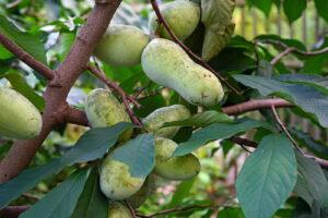 Indianerbananenbaum Mit Reifen Früchten