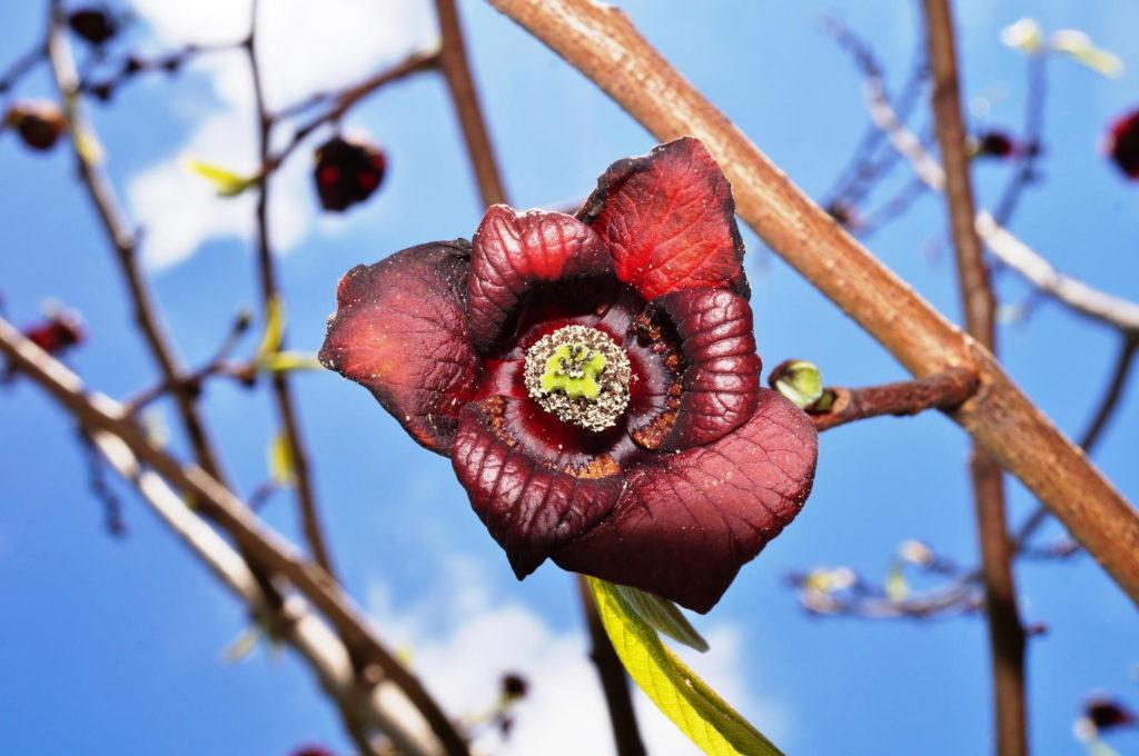 Indianerbananenblüte rot