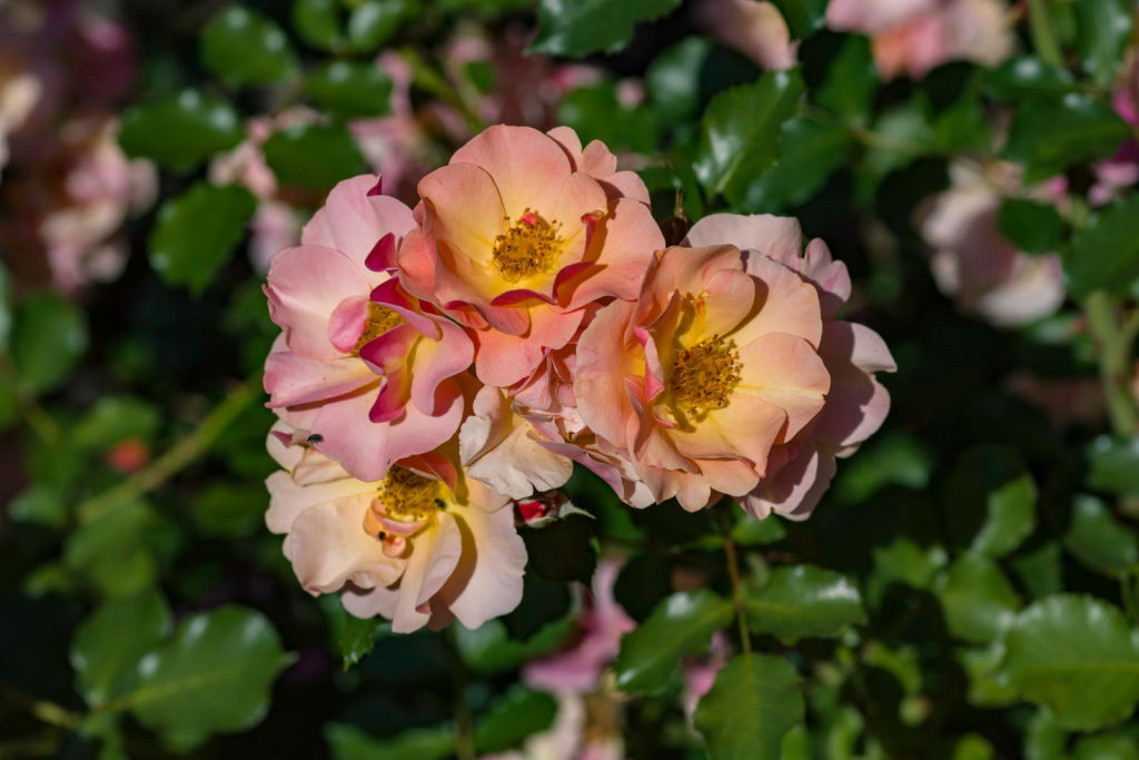 Gelb-orangene Rose