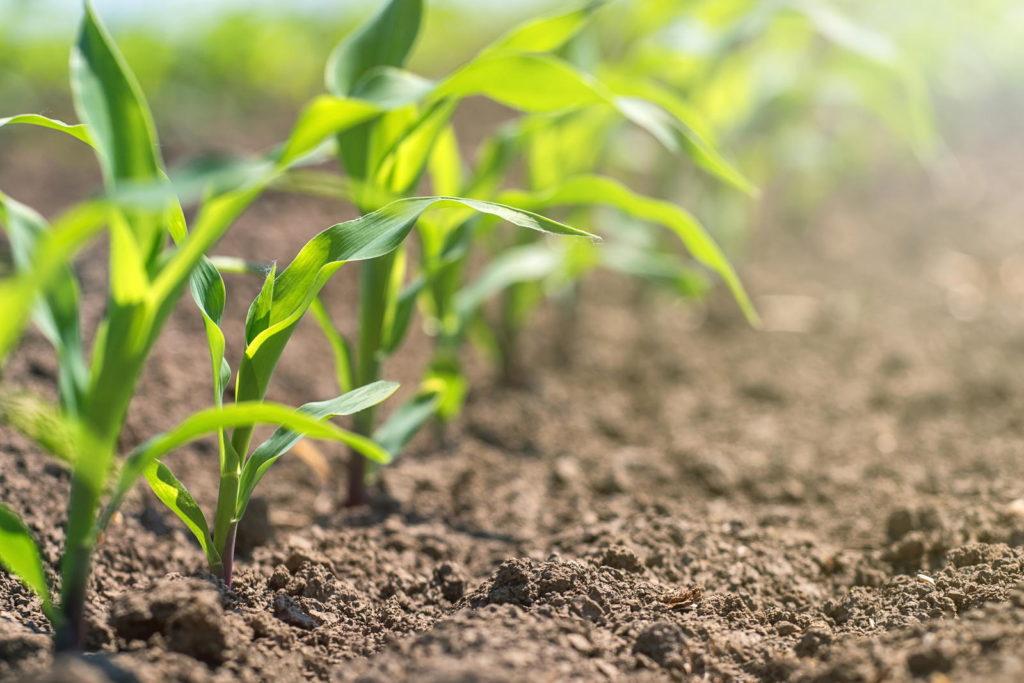 Junge Maispflanzen im Beet