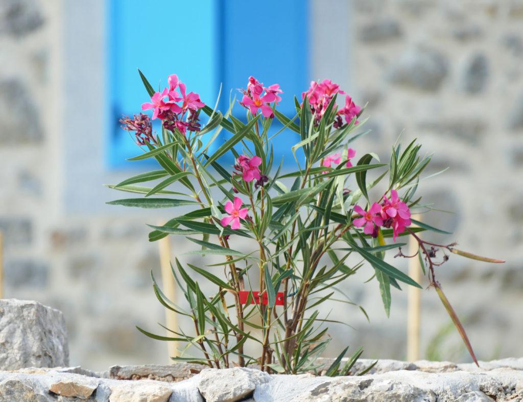 Junge Pleanderpflanze in Steintopf