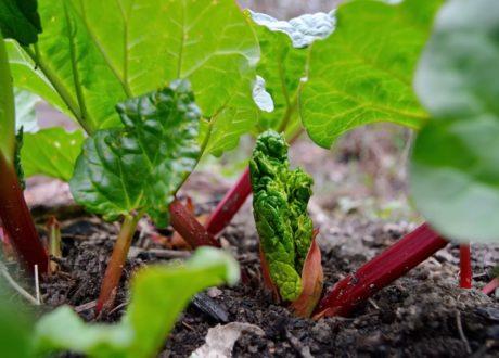 Junge Rhabarber Pflanze