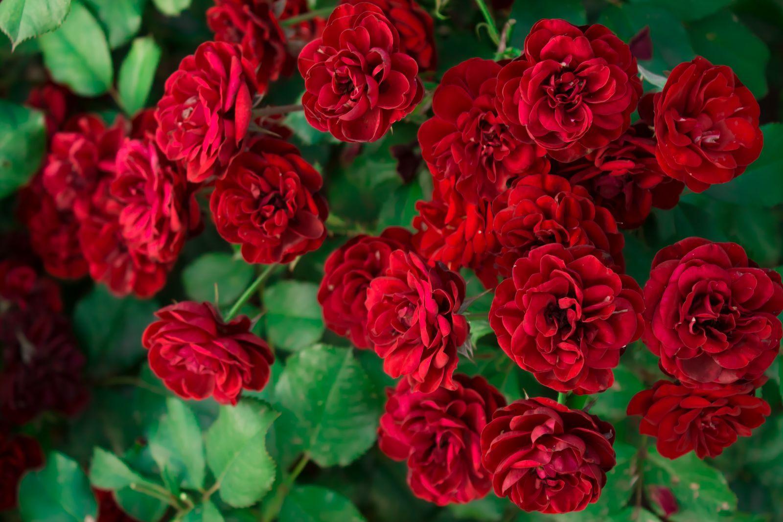 bedeutung rote rose