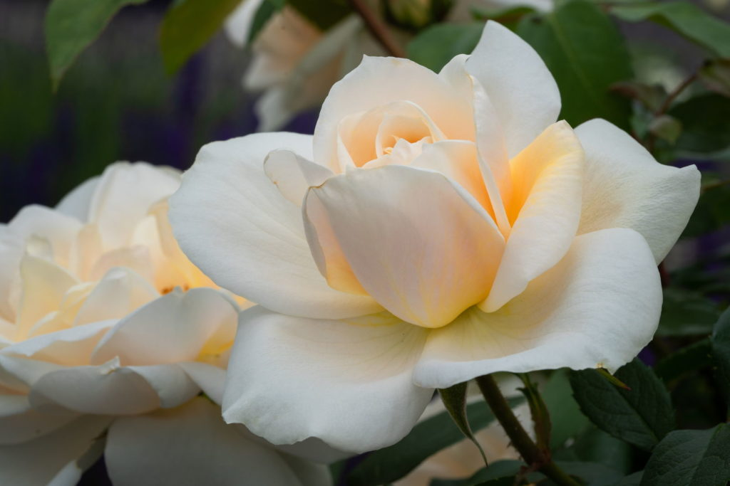 Rose Lions-Rose
