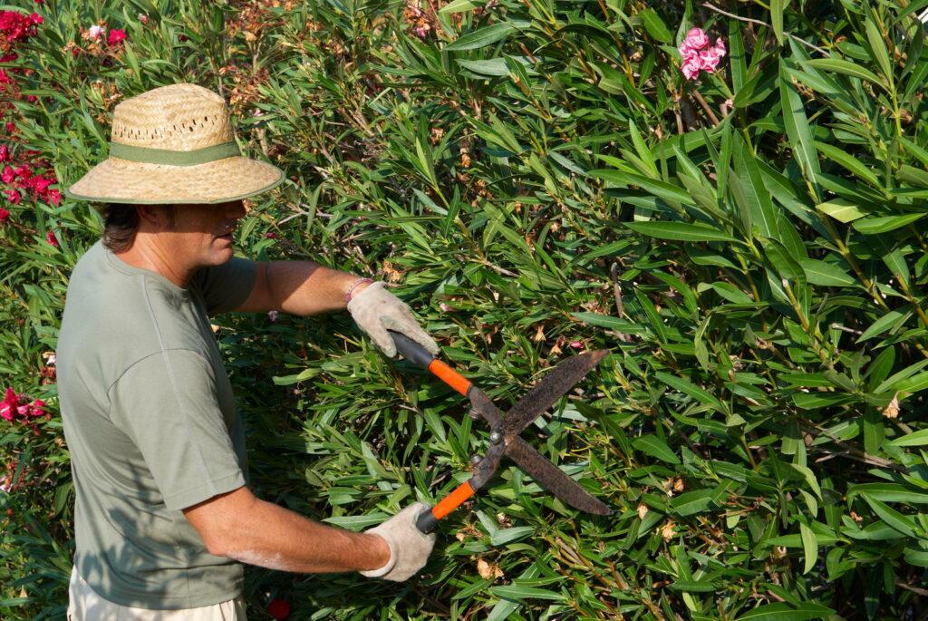 Mann mit Hut schneidet Oleanderhecke