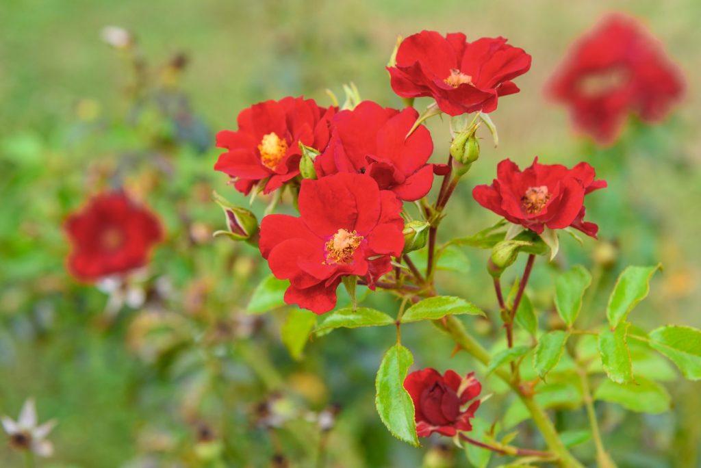 Rose Matador