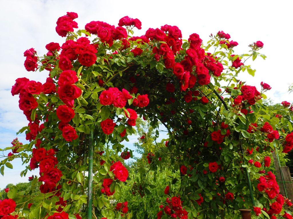 Ein mit roten Rosen bewachsener Metallbogen