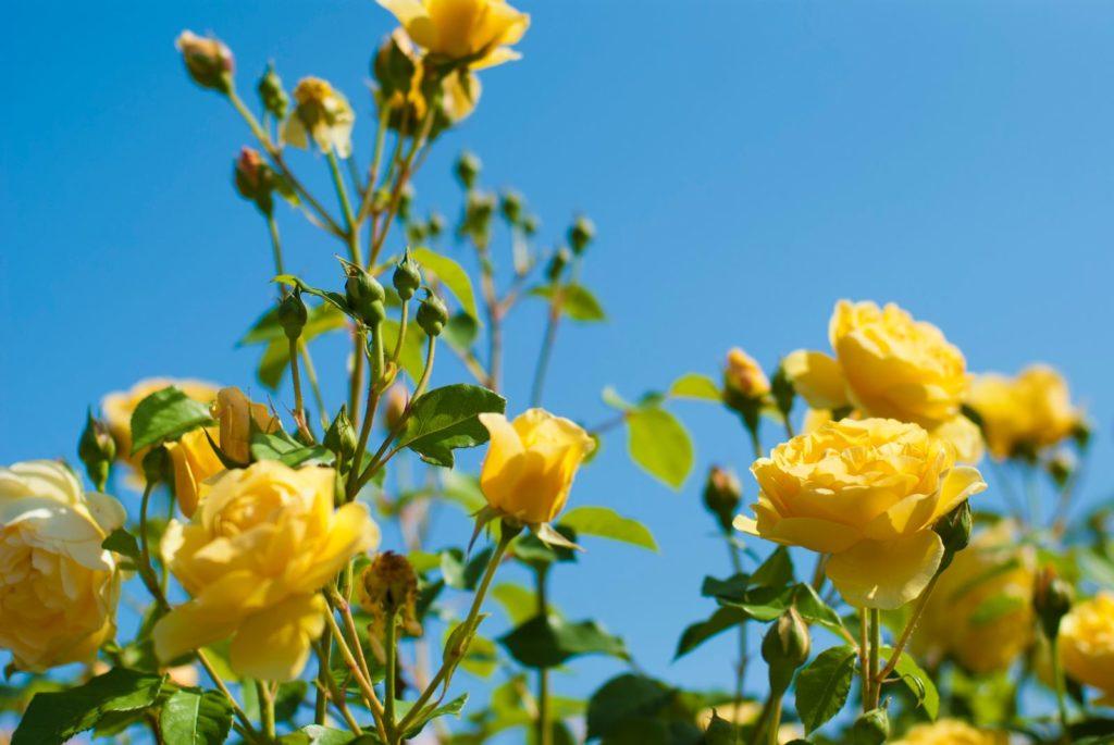 Rose Molineux