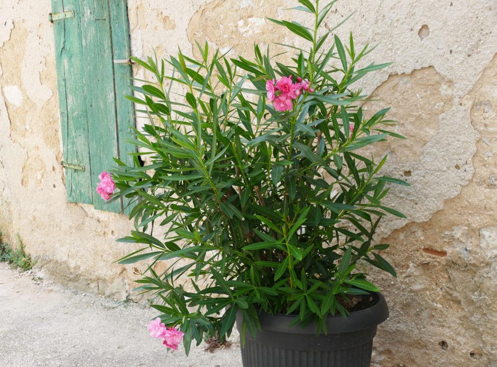 Oleander in Topf vor HauswandOleander in massivem Topf vor Hauswand