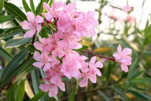 Oleanderblüten Nah In Rosa