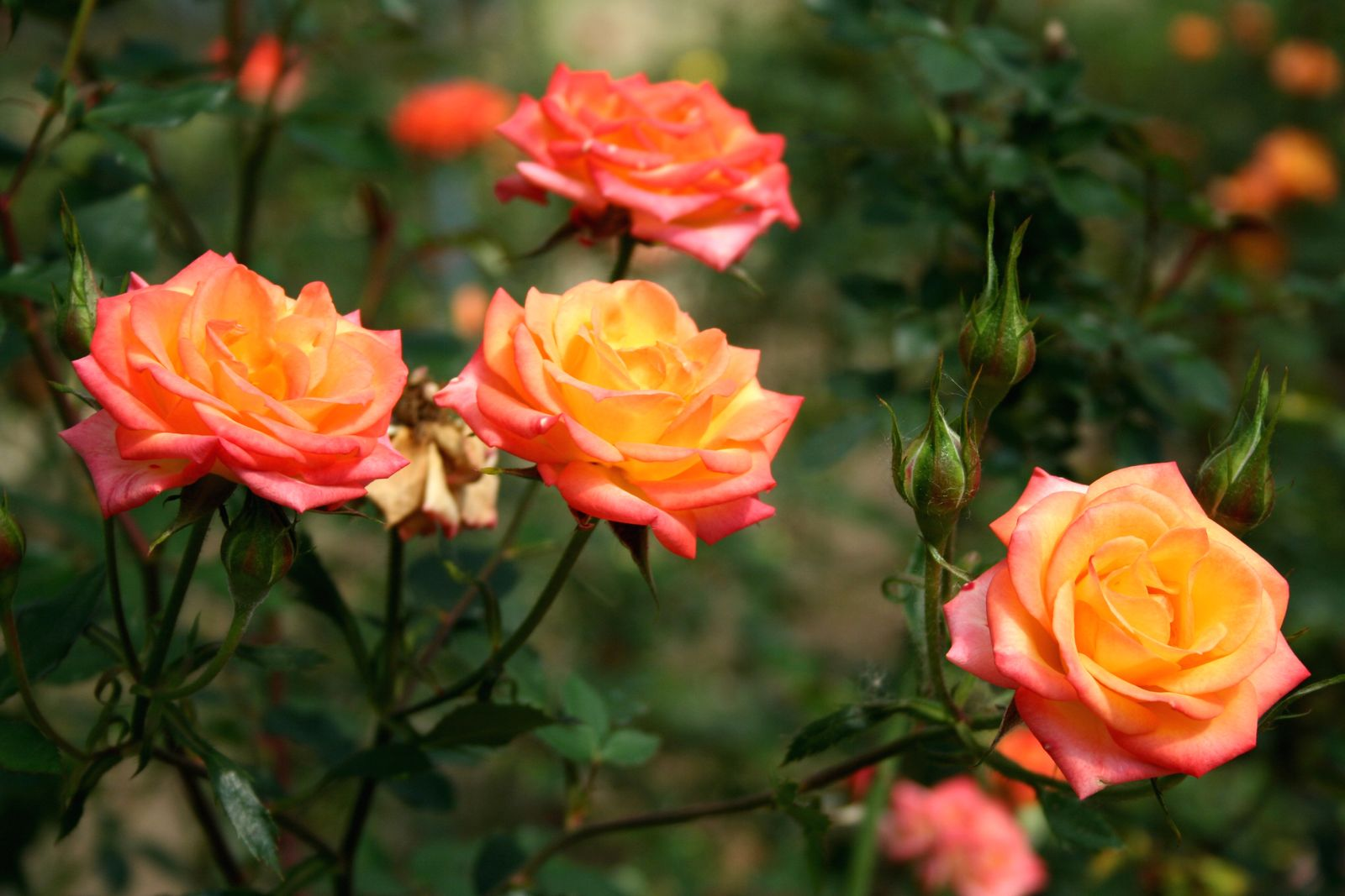Orange Rosen Die Top 10 Rosensorten In Warmem Orange Plantura