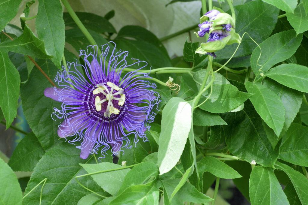Passiflora incarnata im Garten