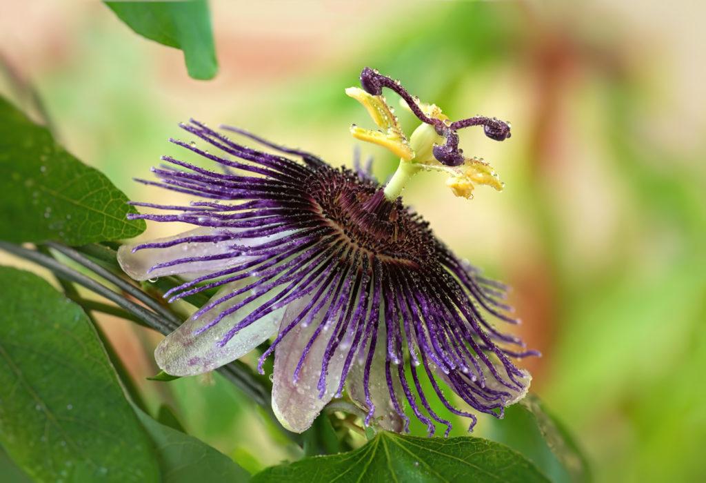 Passionsblume mit Wassertropfen auf der Blüte