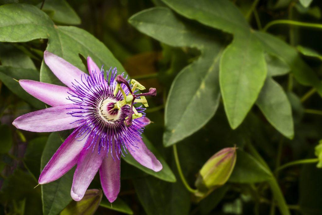 Passionsblume nah mit Knospe