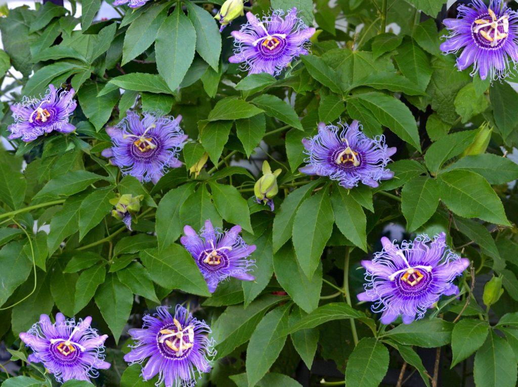 Lila Passionsblumen am Strauch