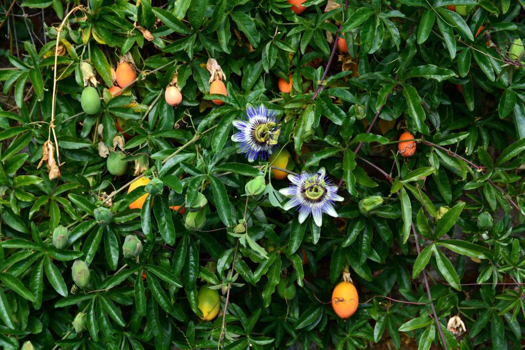 Passionsblumenranken mit Früchten