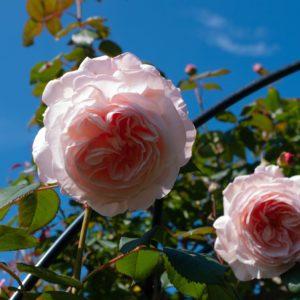 Rose Pink Shropshire Lad