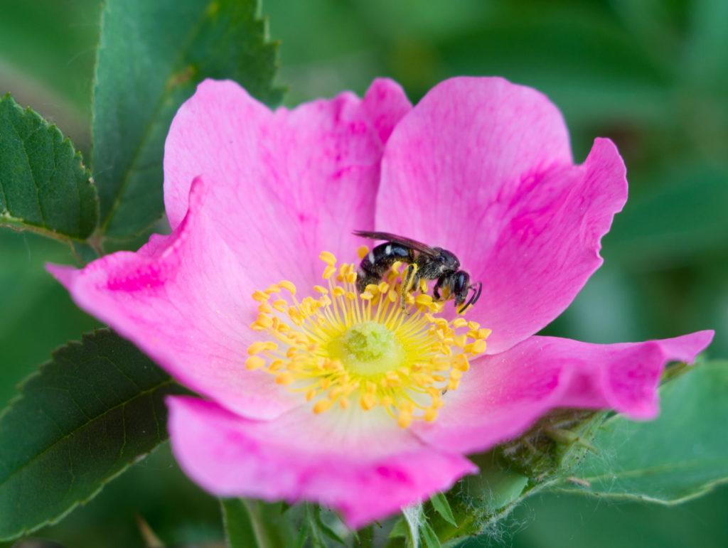 Pinke Wildrose mit Biene darauf