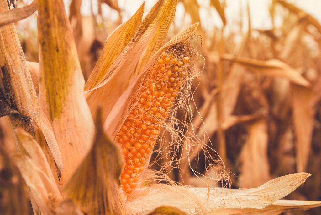 Reifer Maiskolben auf dem Feld