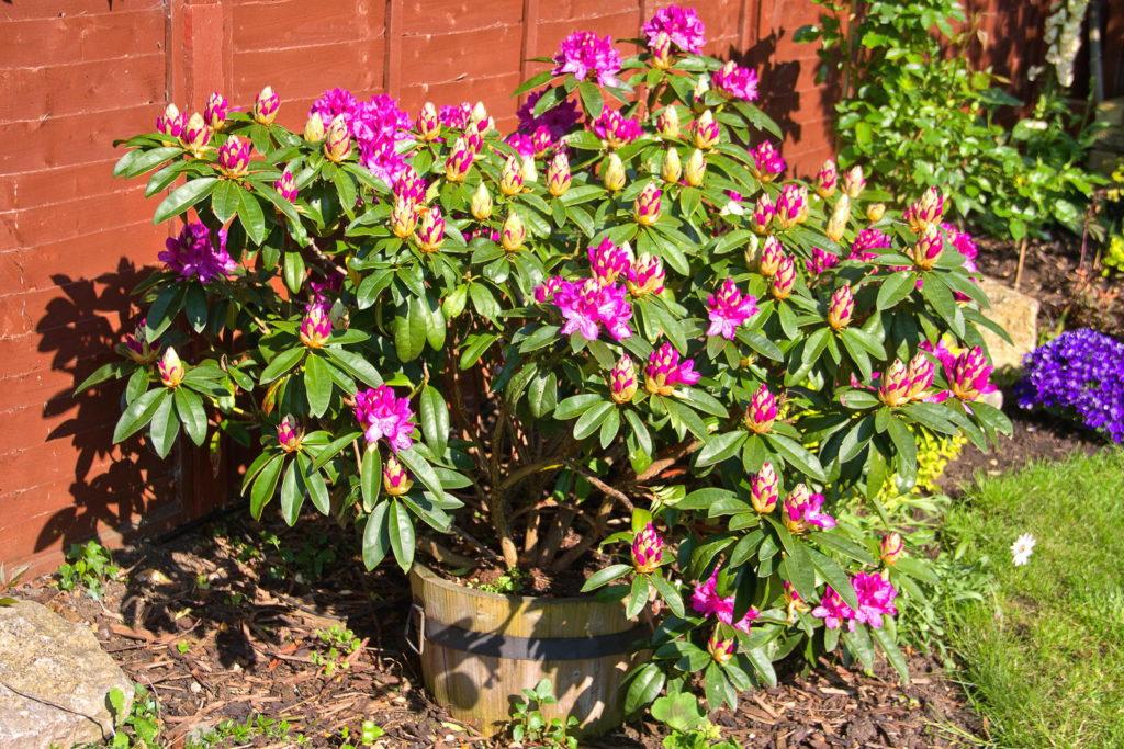 Rhododendren im Topf