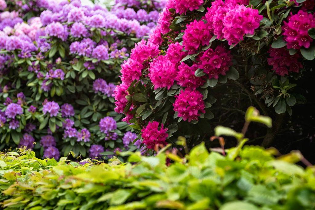 Bunter Rhododendron
