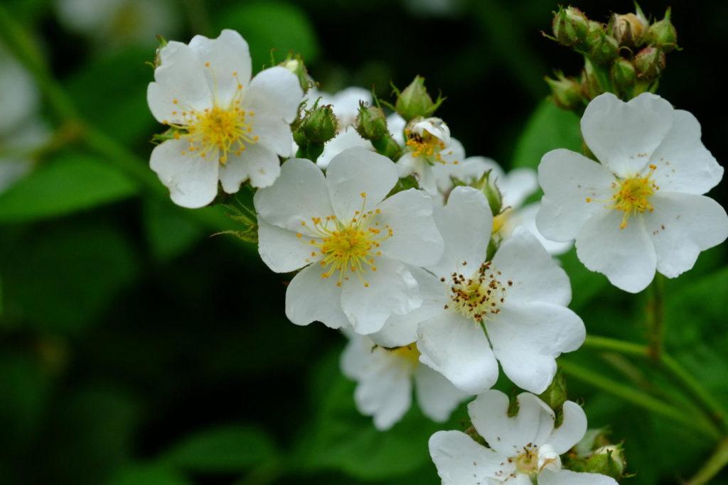 Rosa multiflora mit weißen Blüten
