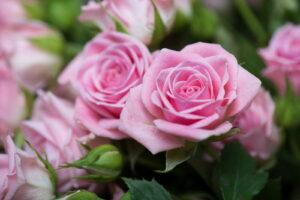Rosa Rosen Am Strauch Nah