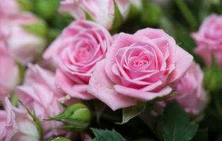 Rosa Rosen: Die 15 Schönsten Rosensorten In Pink & Rosé