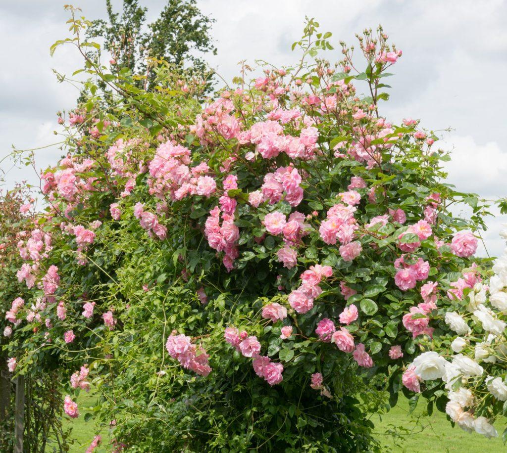 Rosa Rosen auf einem Rosenbogen
