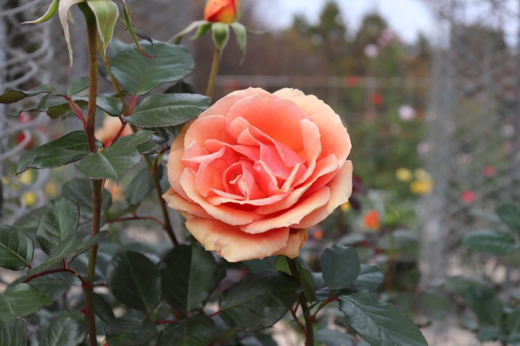Rose Ashram