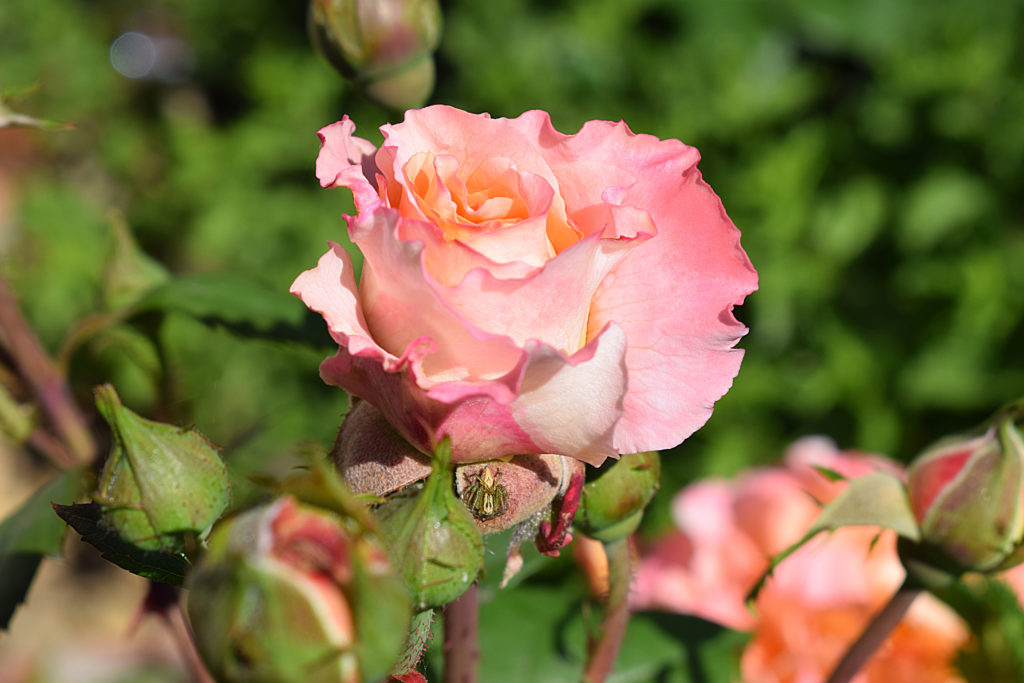 Rose 'Augusta Luise' in Altrosé