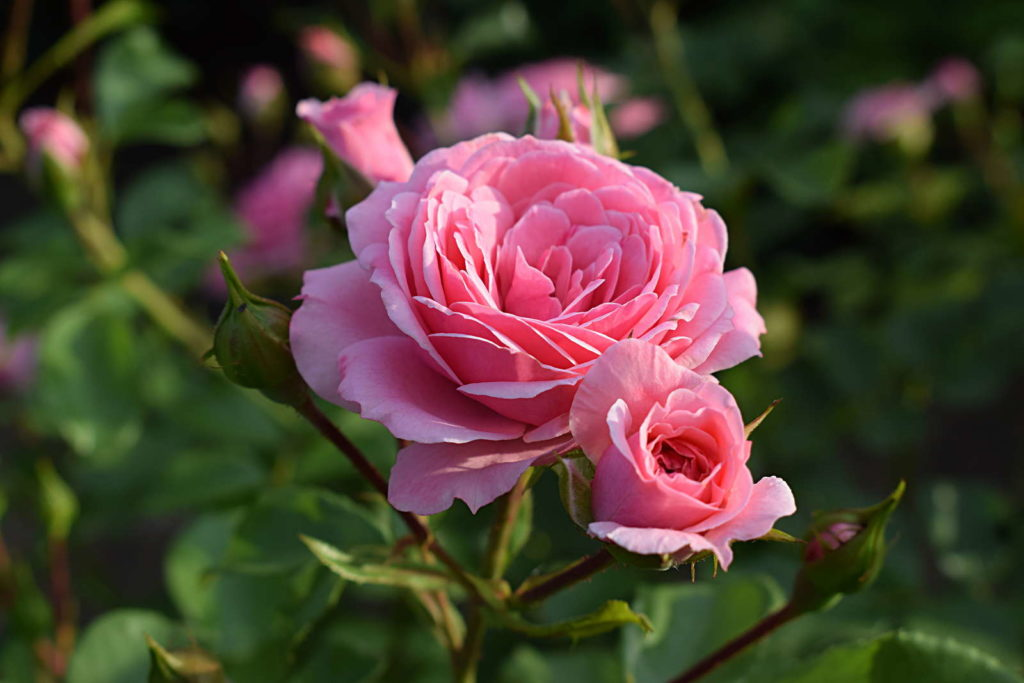 Rose 'Bonica 82' in der Sonne
