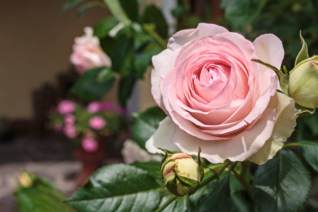 Rose 'Eden Rose 85' in Hellrosa
