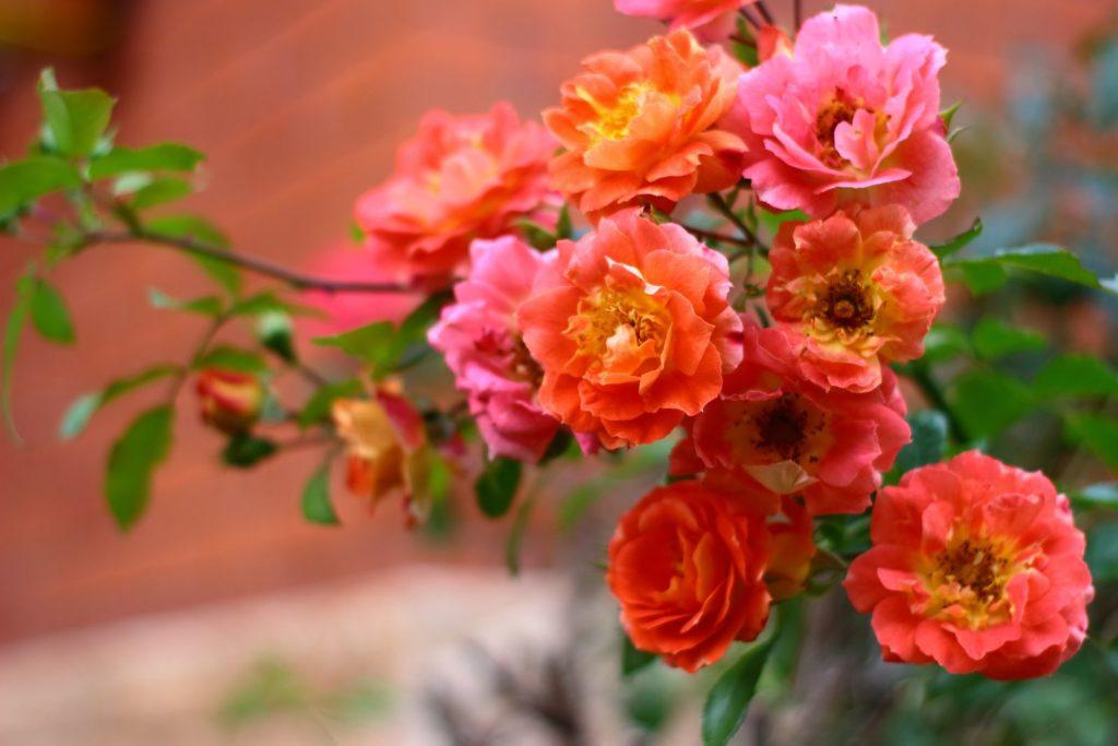 Rose Gebrüder Grimm