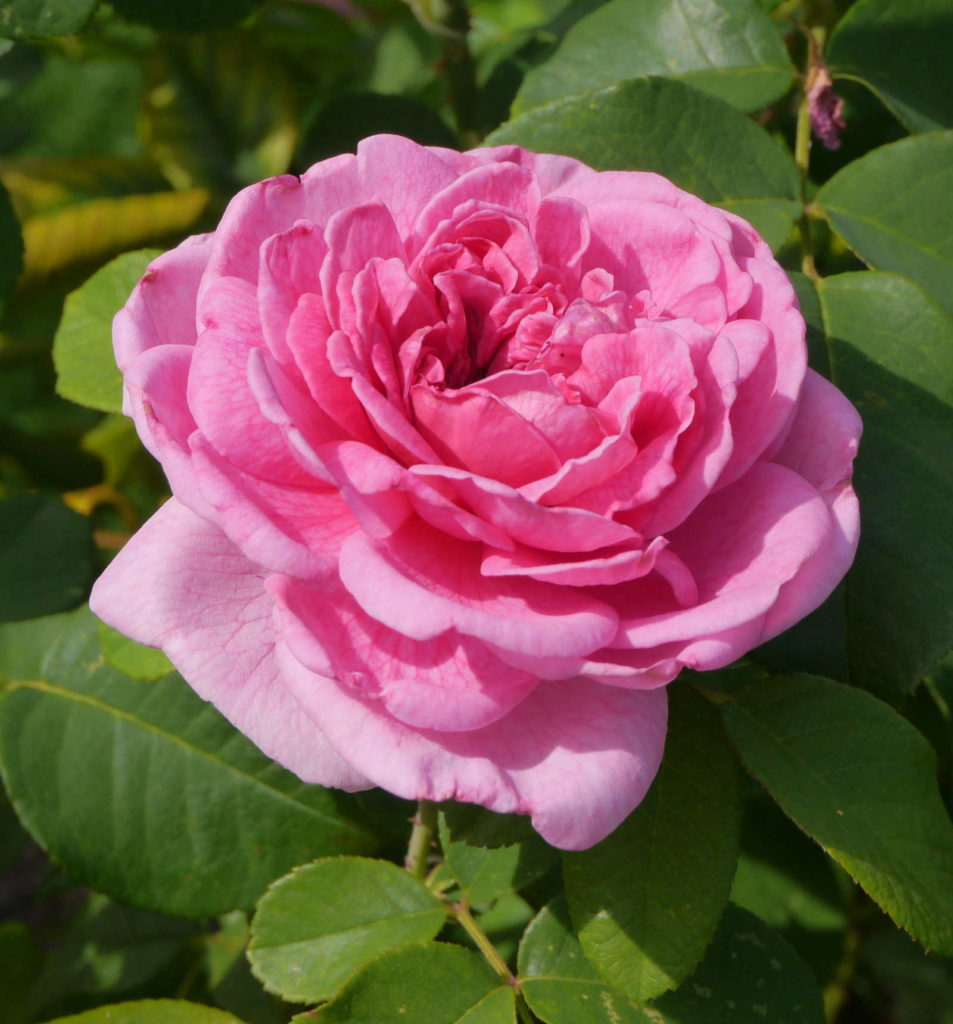 Rose 'Gertrude Jekyll' in Rosa