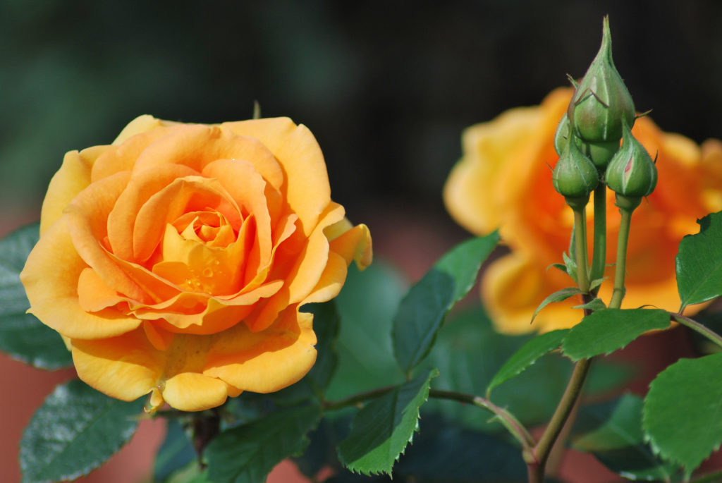 Rose 'Goldelse' in Orange