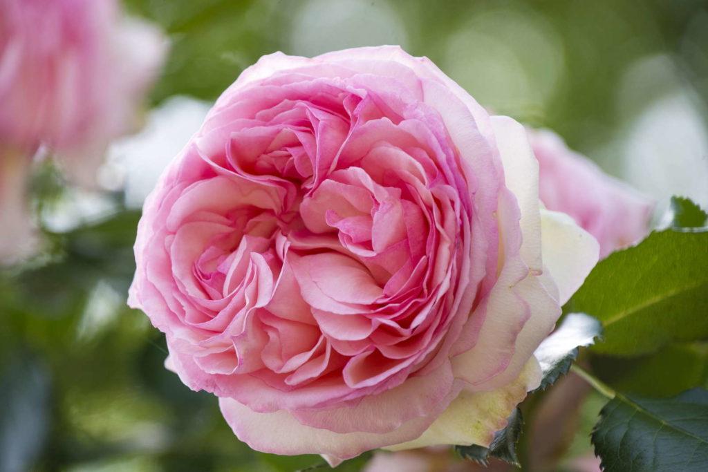 Rose 'Jasmina' in Hellrosa