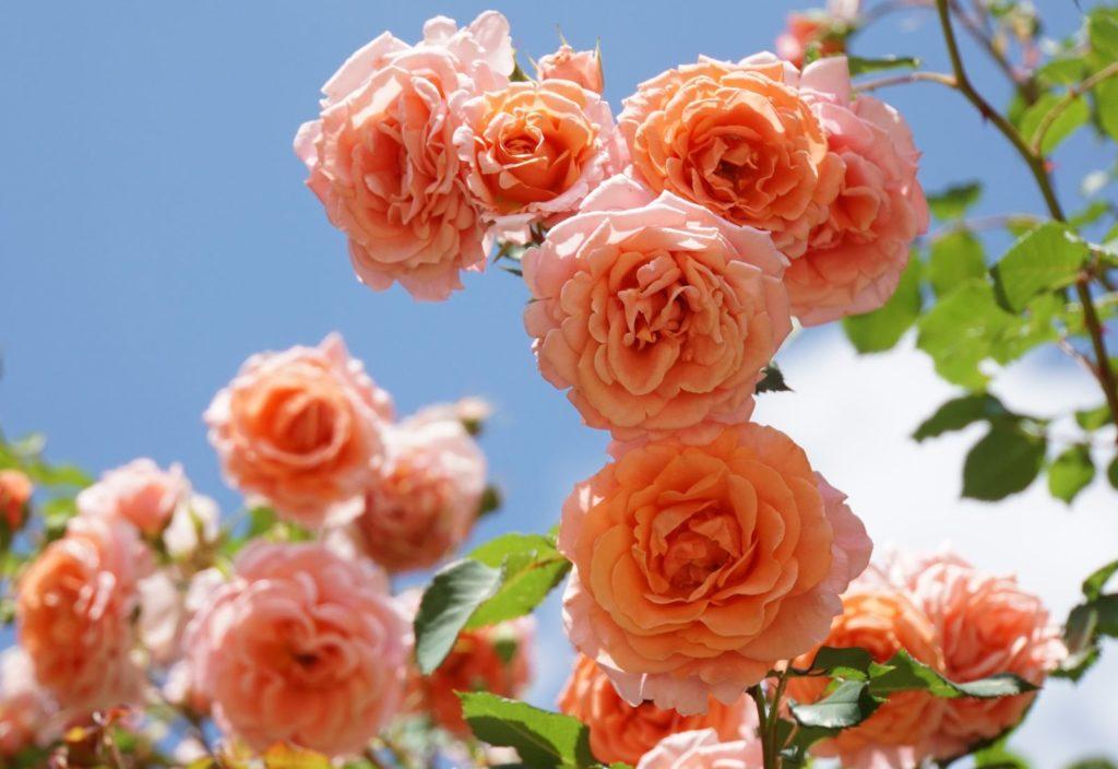 Rose Orangerie