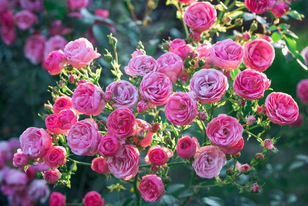 Rosen 'Pomponella' in der Sonne