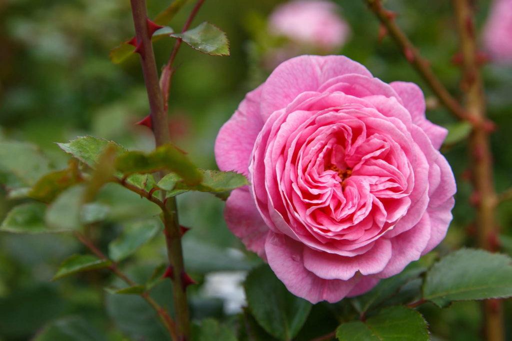 Rose 'Rosengräfin Marie Henriette' in Rosa