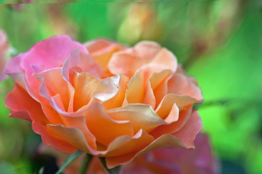 Rose Sedana