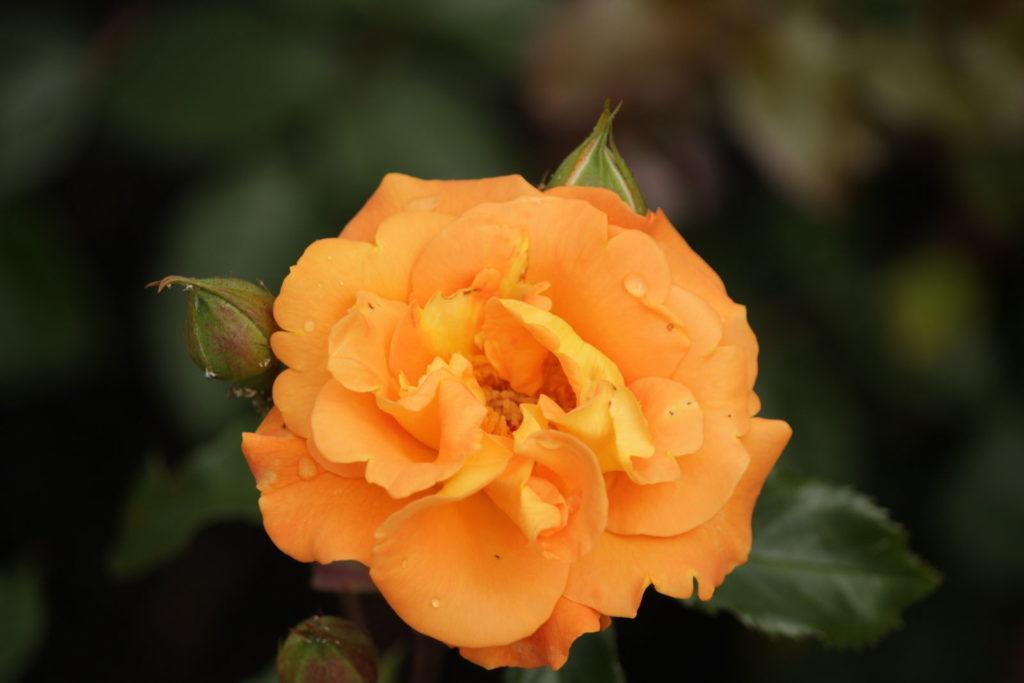 Rose Westzeit